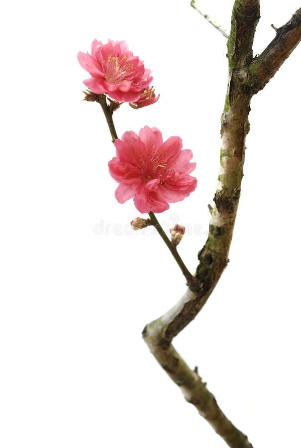 Flor da flor do pêssego fotografia de stock royalty free