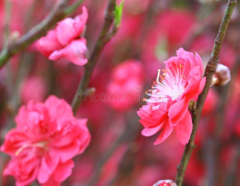 Flor da flor do pêssego foto de stock