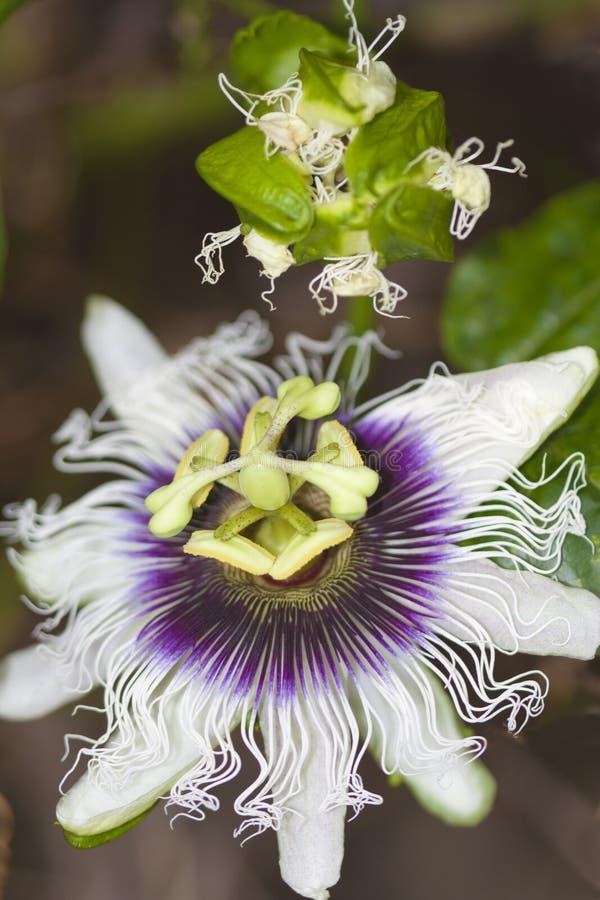 Flor da fruta de paixão fotos de stock