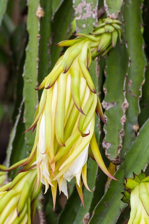 Flor da fruta do dragão fotografia de stock
