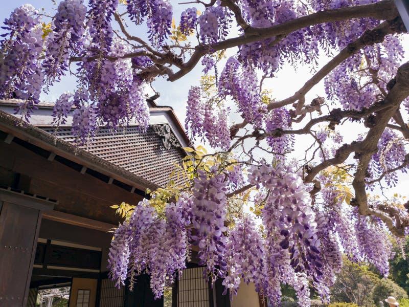 Flor da glicínia no jardim japonês da biblioteca de Huntington foto de stock royalty free