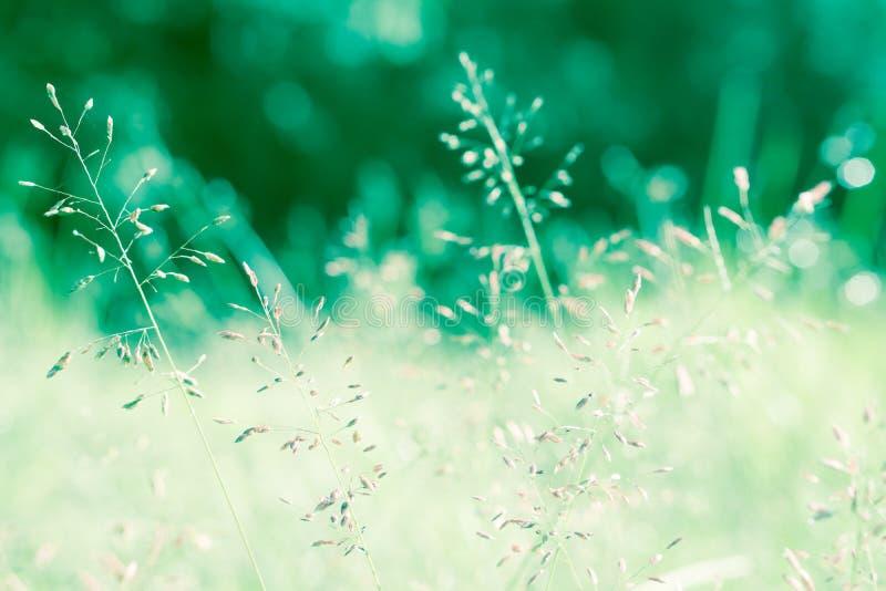 A flor da grama com natureza da mola da luz do bokeh relaxa o fundo imagem de stock royalty free