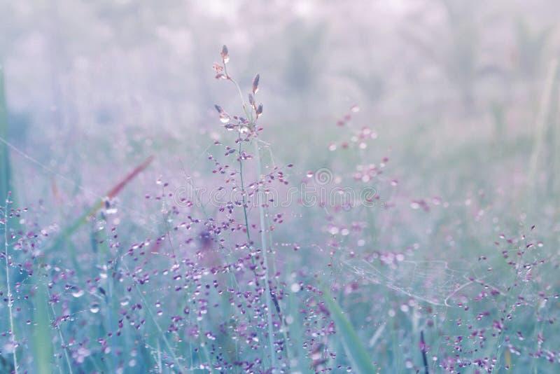 Flor da grama da mola com gotas de orvalho da manhã com fres da luz do sol fotografia de stock