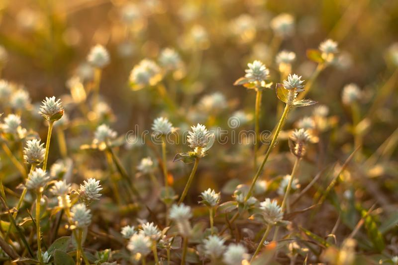 Flor da grama foto de stock