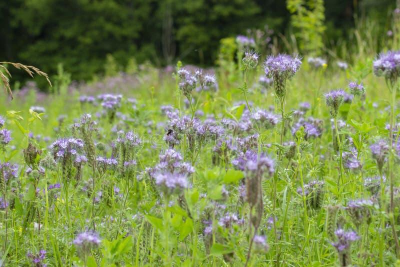 Flor da grama selvagem de Phacelia do benzinho, prado de florescência, flor lilás roxa fotos de stock royalty free
