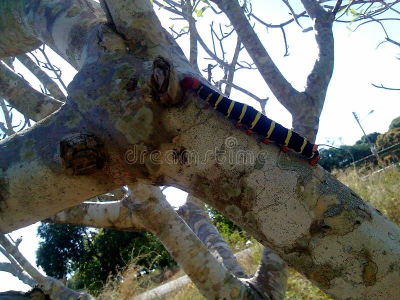 a flor da lagarta do sem-fim colore a papoila fotografia de stock royalty free