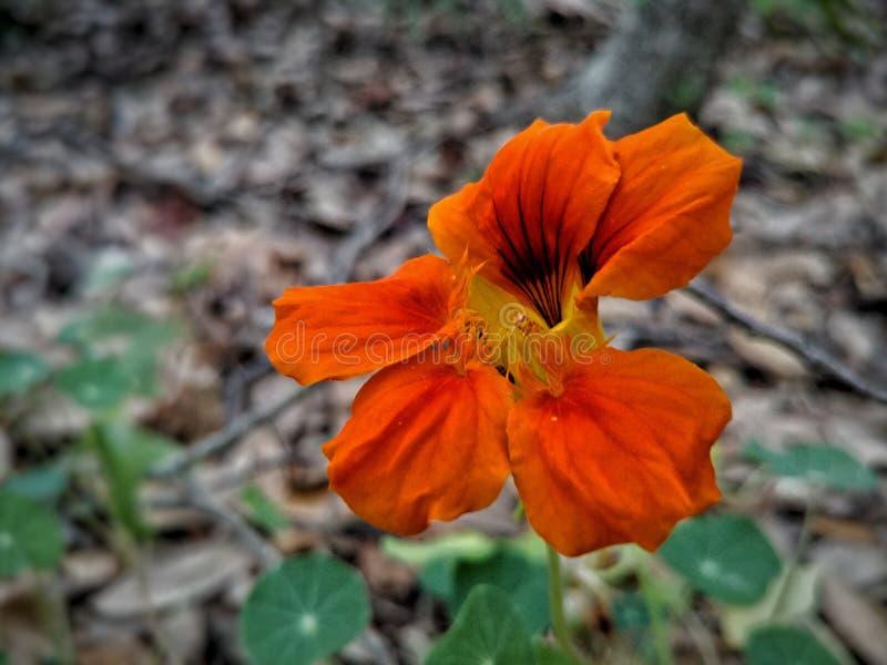 Flor da laranja de Derpy fotografia de stock