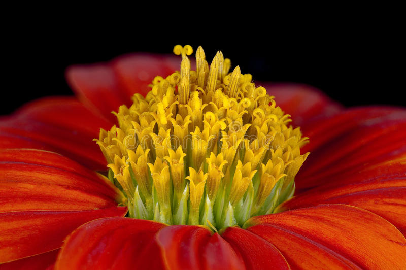 Flor da laranja do crisântemo foto de stock