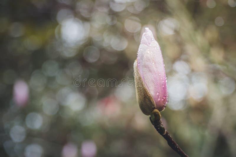 Flor da magnólia no tempo de mola fotos de stock royalty free
