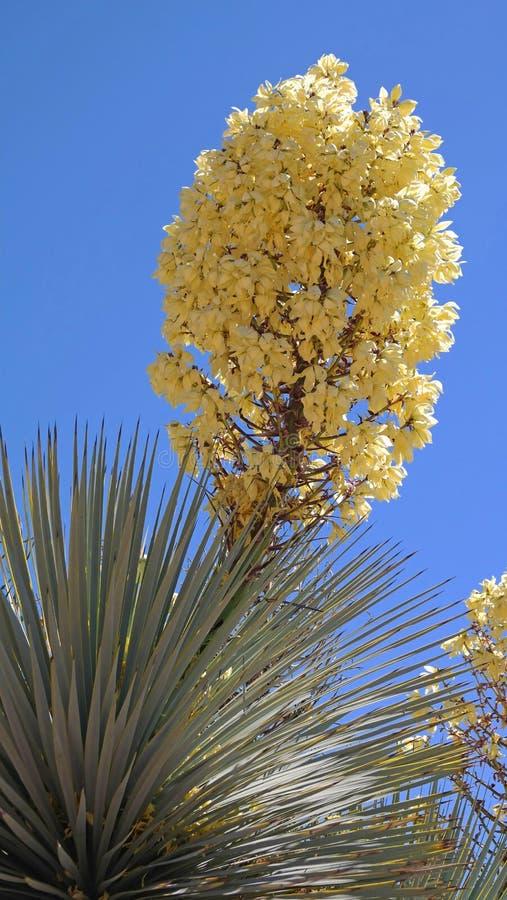 Flor da mandioca de Soaptree imagens de stock