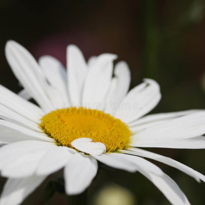 Flor da margarida fotografia de stock royalty free