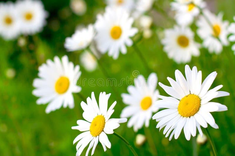 Flor da margarida foto de stock