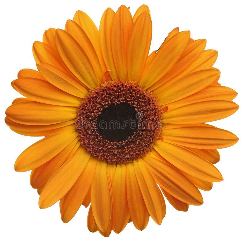 Flor da margarida alaranjada foto de stock royalty free