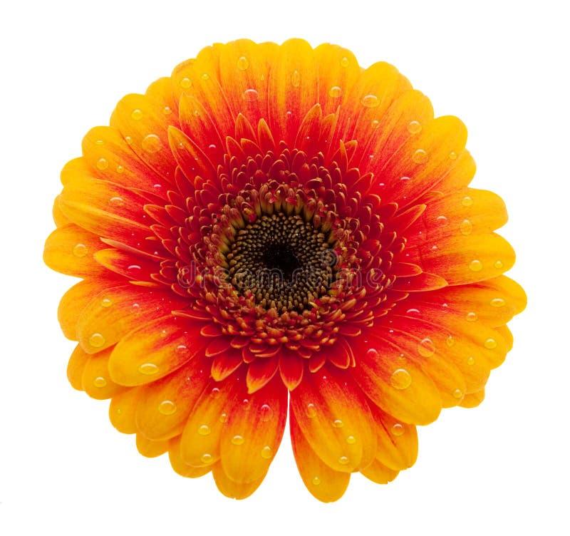 Flor da margarida alaranjada com waterdrops ilustração stock