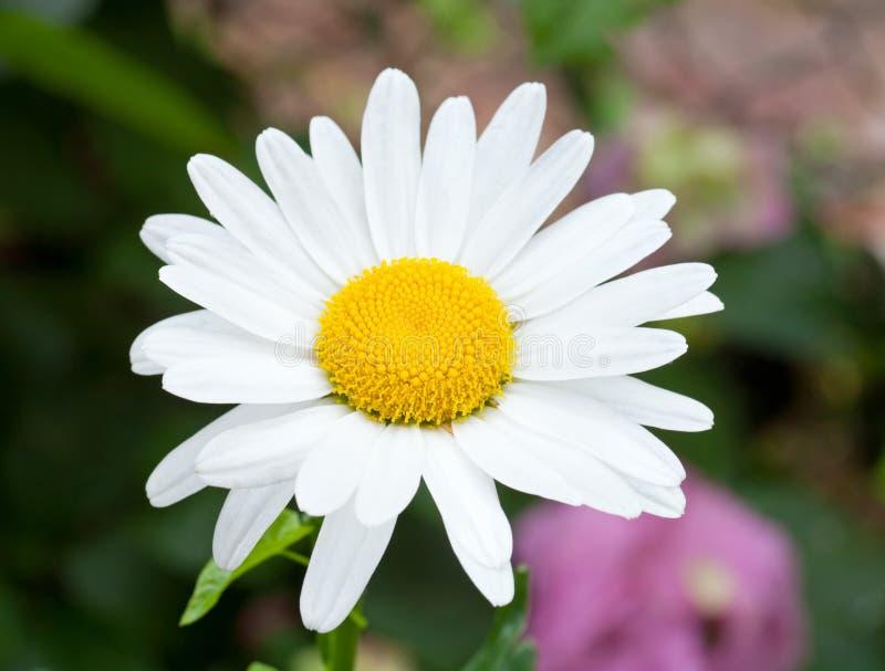 Flor da margarida branca foto de stock royalty free