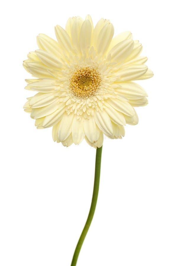 Flor da margarida branca imagem de stock