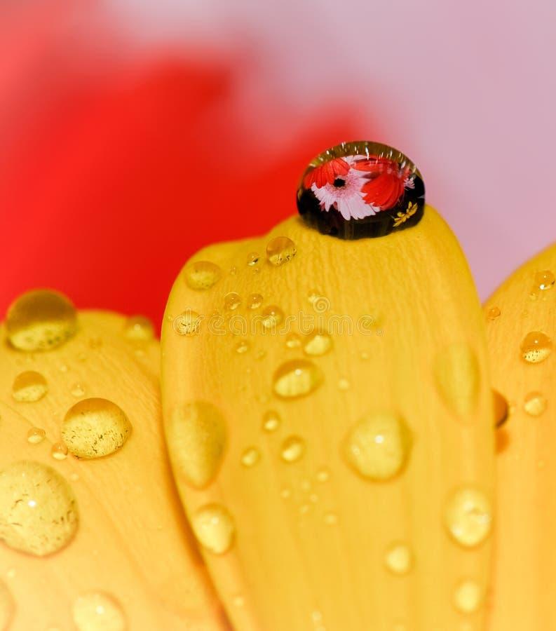 Flor da margarida com gota bonita fotografia de stock royalty free