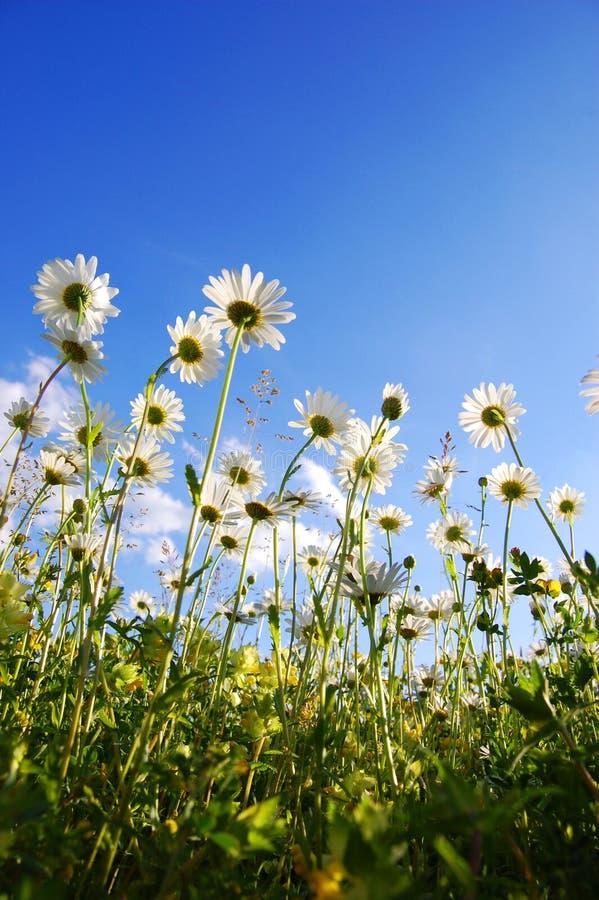 Flor da margarida de abaixo com céu azul fotos de stock royalty free