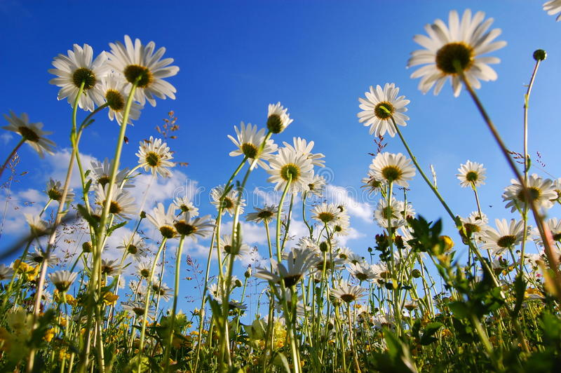 Flor da margarida de abaixo com céu azul fotografia de stock royalty free