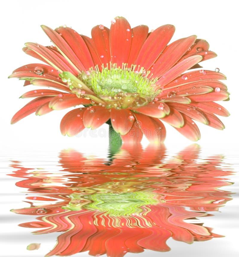 Flor da margarida de Gerber foto de stock royalty free