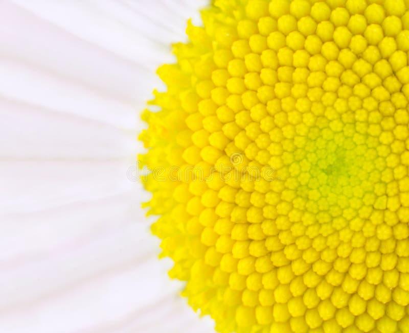 Flor da margarida - do centro macro amarelo ultra imagens de stock