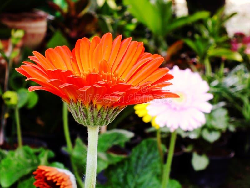 Flor da margarida do Gerbera no jardim fotos de stock royalty free