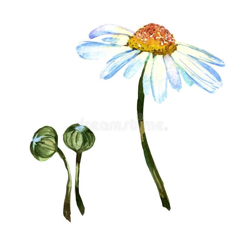 Flor da margarida do Wildflower em um estilo da aquarela isolada ilustração royalty free