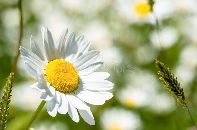 Flor da margarida em um dia de verão ensolarado fotografia de stock royalty free