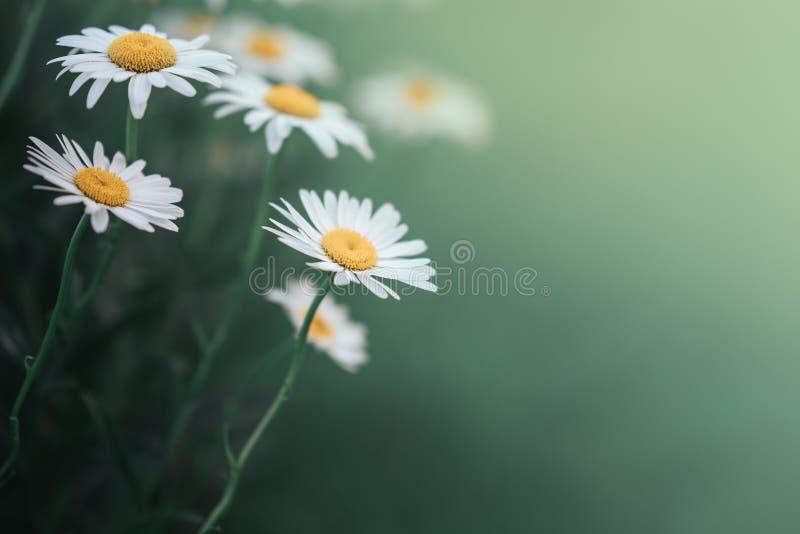 Flor da margarida na profundidade de grama de campo rasa verde Flores bonitas da margarida na natureza fotografia de stock royalty free