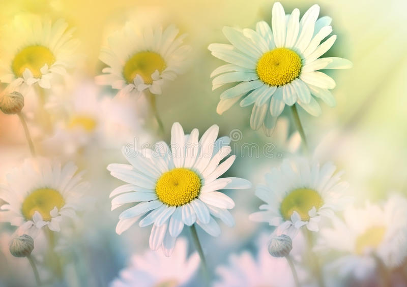 A flor da margarida no prado banhou-se na luz do sol da mola fotografia de stock royalty free