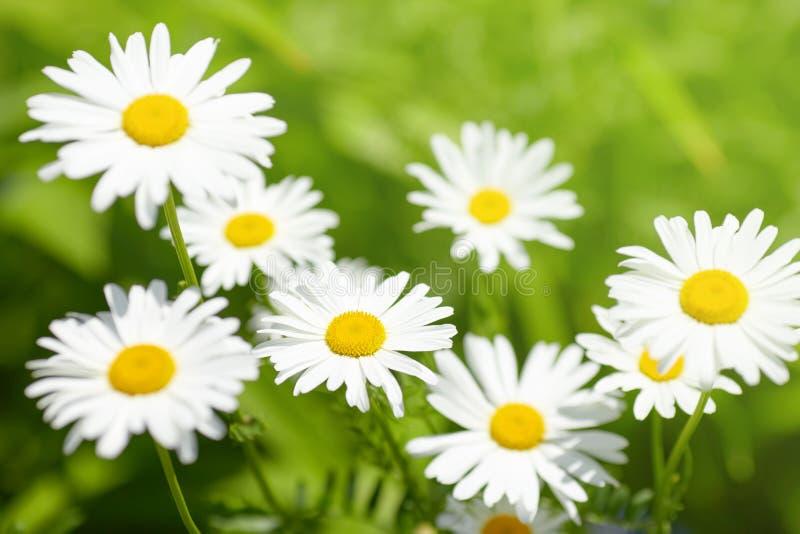 Flor da margarida no prado verde fotos de stock