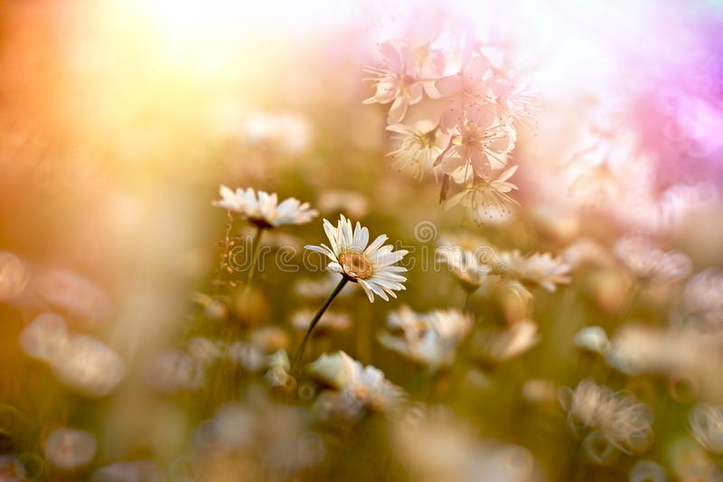 Flor da margarida, por do sol no prado de flores da margarida foto de stock royalty free