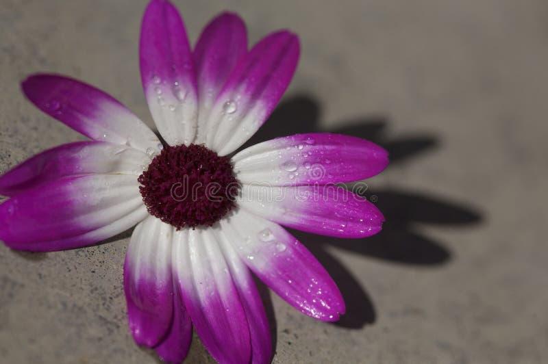 Flor da margarida roxa e branca foto de stock