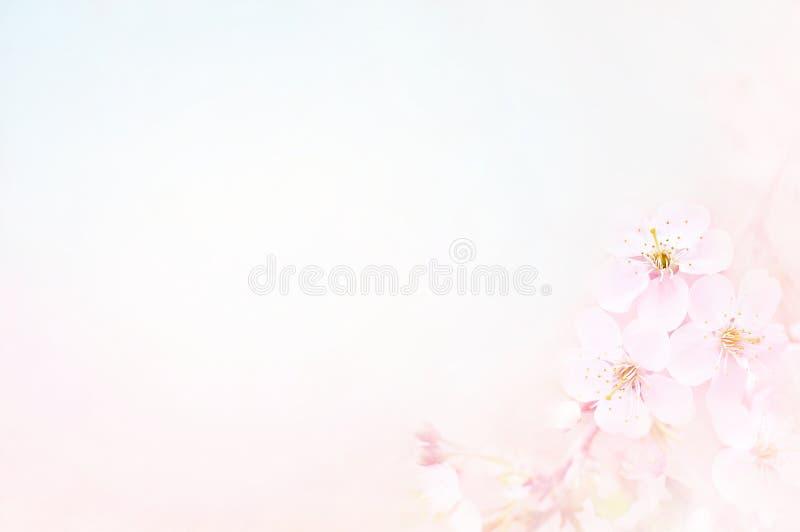 Flor da flor da mola/cereja da primavera no fundo do céu azul fotografia de stock royalty free