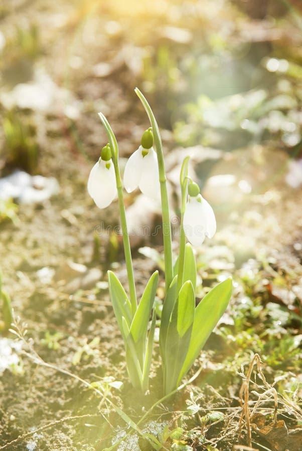 Flor da mola de Snowdrop com neve fotos de stock