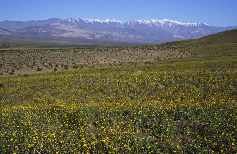 Flor da mola em Death Valley foto de stock royalty free