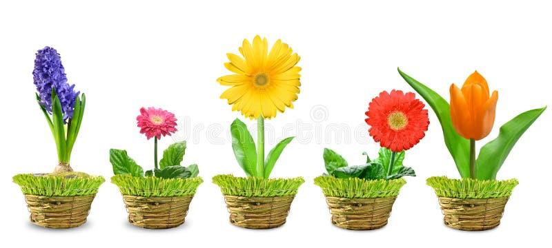 Flor da mola isolada fotos de stock royalty free
