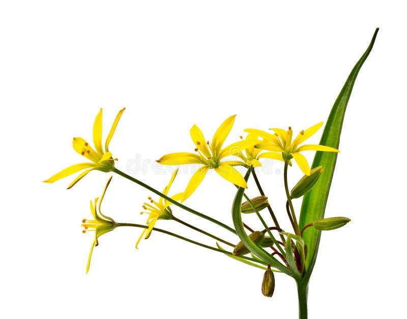 Flor da mola (lutea de Gagea) imagens de stock