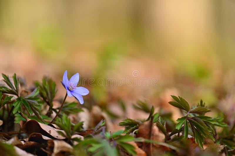 Flor da mola Primeiras flores pequenas de florescência bonitas na floresta Hepatica Nobilis de Hepatica imagem de stock royalty free