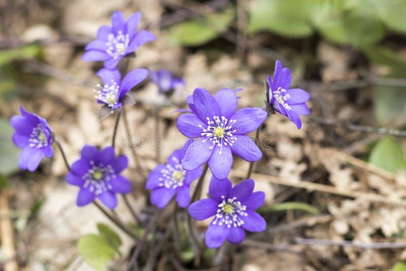Flor da mola snowdrop azul no ambiente natural Profundidade rasa do corte é matizado fotografia de stock royalty free