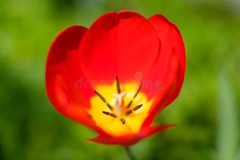 Flor da mola vermelha no prado - escolha a tulipa vermelha com m foto de stock