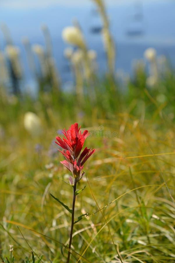 Flor da montanha fotografia de stock