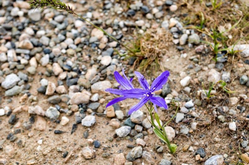 Flor da montanha foto de stock