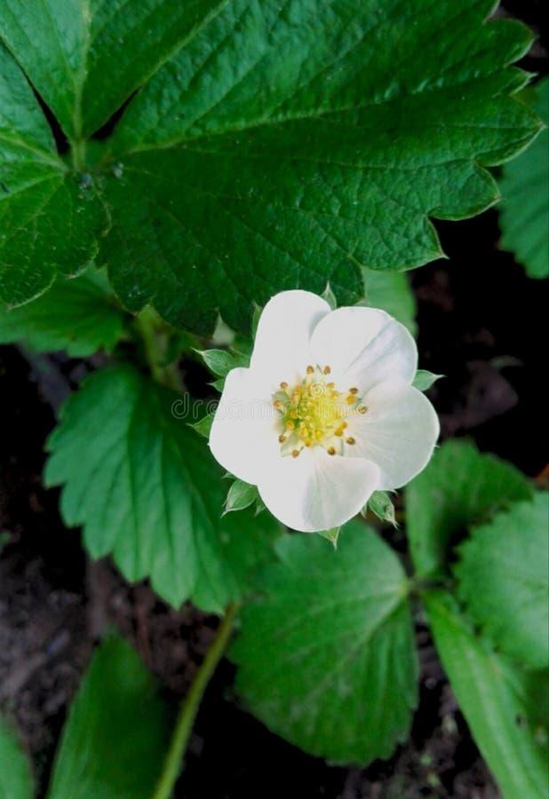 Flor da morango imagem de stock royalty free