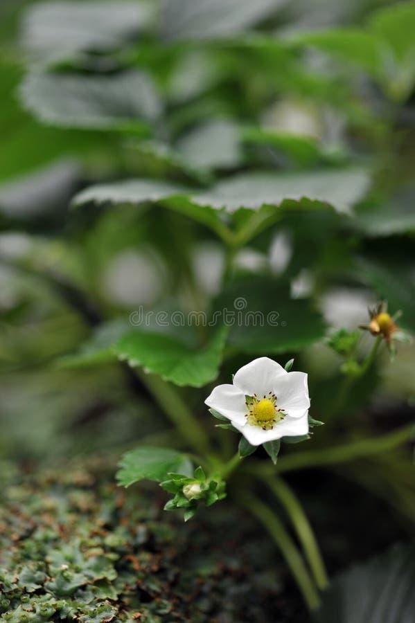 Download Flor da morango foto de stock. Imagem de fresco, desenvolvimento - 16862670