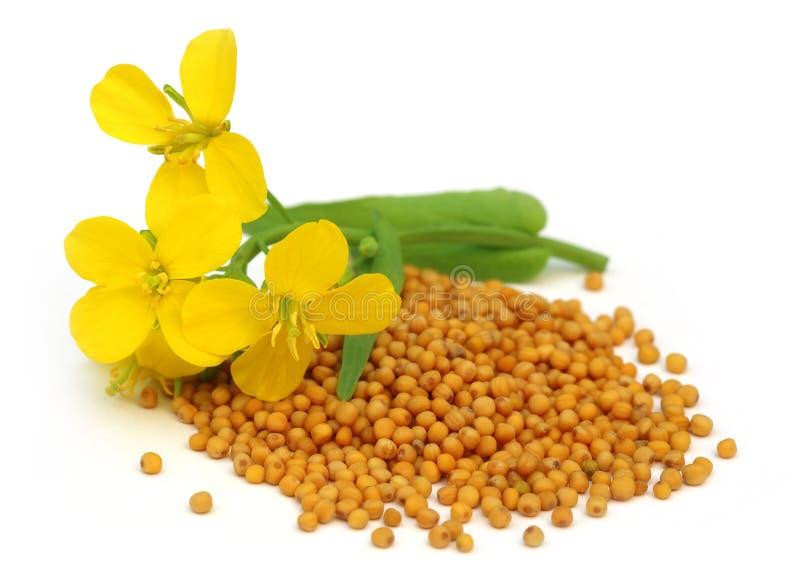 Flor da mostarda com sementes imagem de stock