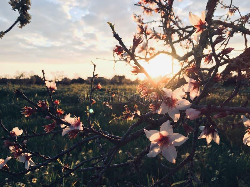 Flor da am?ndoa fotografia de stock