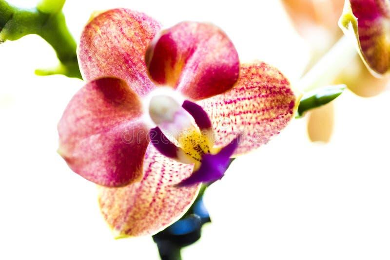 Flor da orquídea foto de stock royalty free