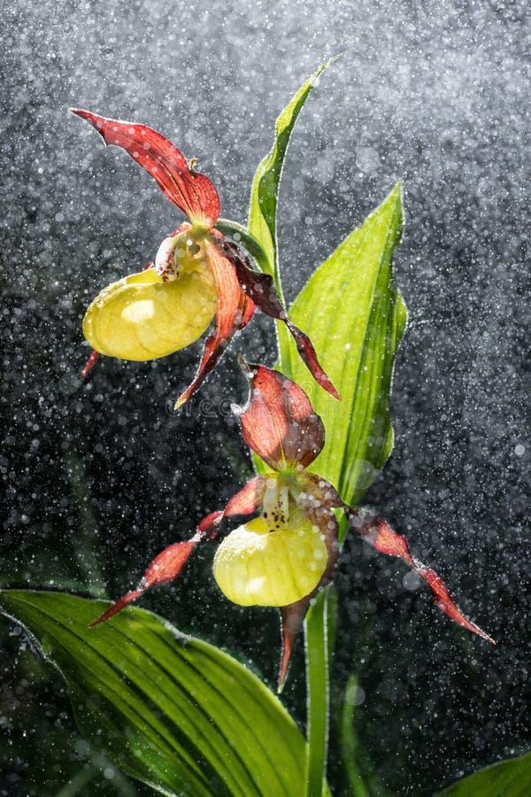 A flor da orquídea de deslizador de Ladys na chuva de derramamento gosta de nevar Gotas da flor e da água Senhora Slipper, calceo foto de stock