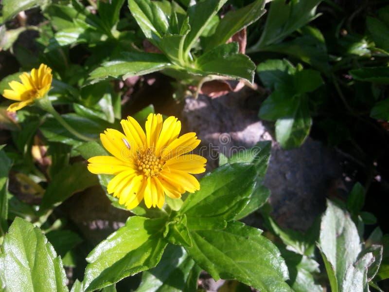 Flor da orquídea de Naturel do srilanaka imagem de stock royalty free